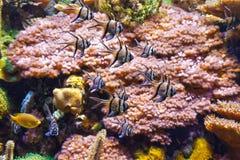 Aquarium - Pterapogon-vissen stock foto
