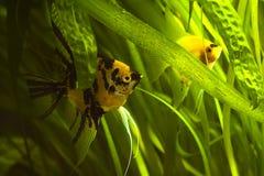 Aquarium with scalars Royalty Free Stock Photo