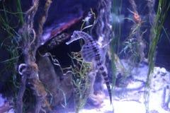 Aquarium Sea Horse royalty free stock photos