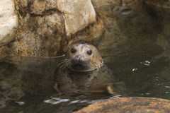 Aquarium seals Stock Photography