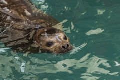 Aquarium seals Royalty Free Stock Photography