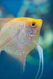 Aquarium small fishes. Stock Photo