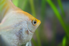 Aquarium small fishes. Stock Photography