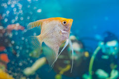 Aquarium small fishes. Royalty Free Stock Image