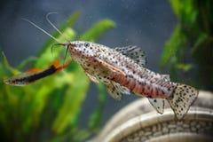 Aquarium small fishes ( Hoplosternum thoracatum) Stock Photography