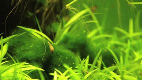 Aquarium snails red-rimmed melania climbing on moss ball stock video