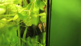 Aquarium snails red-rimmed melania climbing up stock video footage