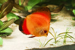 Discus fish in aquarium Royalty Free Stock Photos