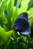 Blue discus fish Stock Photo