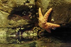 Aquarium Starfish Royalty Free Stock Image