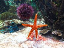 Aquarium Starfish Urchin Stock Photo