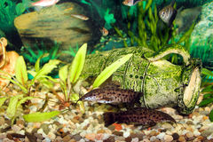 Aquarium with swimming Hoplosternum thoracatum stock photos