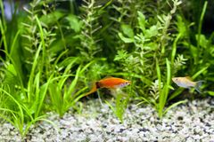 Aquarium Swordtail and Molly. Red Wag Swordtail and Cremecicle Lyretail Molly swimming in planted fish tank; focus on Red Wag Swordtale fish Royalty Free Stock Images