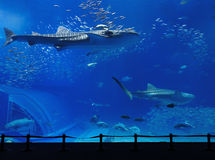 Aquarium tank. With whale shark Stock Photo