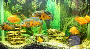 Aquarium tank close up with cute fish Stock Photography