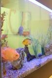 Aquarium tank close up with cute fish Royalty Free Stock Photo