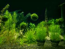 Aquarium tank with a variety of aquatic plants Stock Photo