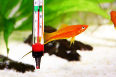 Aquarium Thermometer Temperature In Tropical Fish Aquarium Stock Photo