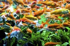 Aquarium-Tiernatur der Fische exotische Stockbilder