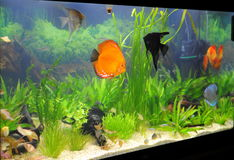 Aquarium (tropical aquarium fish and plants) Stock Images