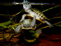 Aquarium turtle. Royalty Free Stock Photography