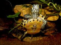 Aquarium turtle. Royalty Free Stock Photo
