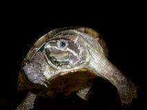 Aquarium turtle. Stock Images