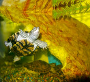 Aquarium Turtle Royalty Free Stock Photos