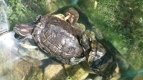 Aquarium with two turtles. Turtle sun bathing. Two turtles in aquarium sitting on rocks in the sun Stock Photography