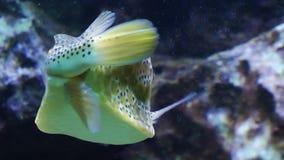 Aquarium. An Underwater video, fishes in the Aquarium. An interesting Funny Fish isn't it stock video