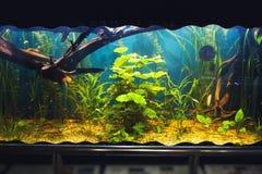 Aquarium with vegetation. Aquarium closeup with colorful vegetation. Indoors capture Royalty Free Stock Images