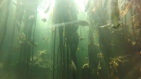 Aquarium water plants. Dubai, United Arab Emirates - May 1, 2013: fishes and waving water plants in the famous Dubai aquarium stock footage