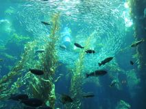 Aquarium. An aquarium in which a school of fish can be seen along with silhouettes of other fish Stock Photography