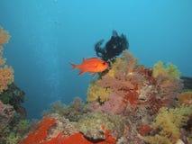 Aquarium Whitetip Soldierfish und Koralle Stockfotografie