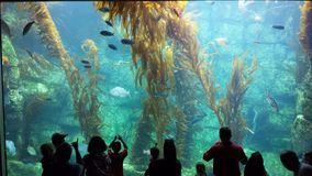 Aquarium Wonderland. Tourists enjoy the wonder of this 70000 gallon Kelp Forest stock images