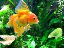 Aquarium Yawning Gold Fish Stock Photo
