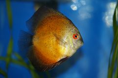 Aquarium yellow fish Royalty Free Stock Image