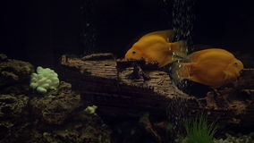 Aquarium yellow fishes swimming in dark deep blue water. Beautiful footage stock video footage