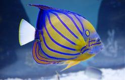 Aquariumengelsfische Stockfotografie