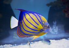 Aquariumengelsfische Lizenzfreie Stockfotos