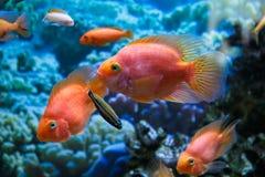 Aquariumfisch-Rotpapagei Lizenzfreie Stockbilder