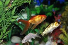 Aquariumfische Lizenzfreies Stockfoto