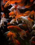 Aquariumfische Stockfotos