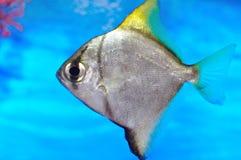 Aquariumfische Stockbild