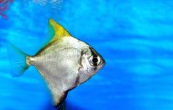 Aquariumfische Stockfotografie