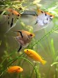 Aquariumfische. Stockfoto