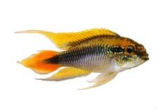 Aquariumfische Agassiz-` s Zwerg Cichlid Apistogramma Agassizii stockbilder