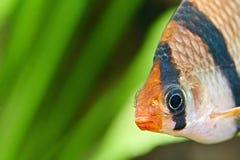 Aquariumfische. Barbus-puntius tetrazona stockfotos