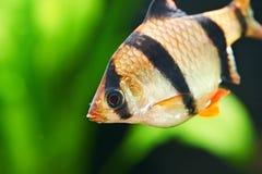 Aquariumfische. Barbus-puntius tetrazona Lizenzfreie Stockbilder