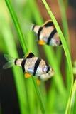 Aquariumfische - barbus tetrazona lizenzfreie stockbilder